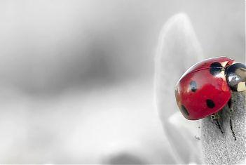 Grijze achtergrond met een rood lieveheersbeestje